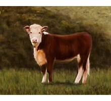 Hereford Heifer Photographic Print