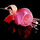 Fuchsia XI by Tom Newman