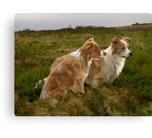 Border Collies in the field Canvas Print