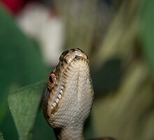 Baby Python 7 by Michael Cuneo