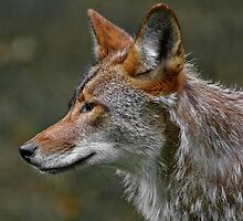 Coyote Profile by Michael Cummings