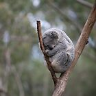 sleeping koala  by Matthew Jones