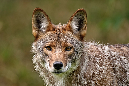 Coyote Portrait  by Michael Cummings