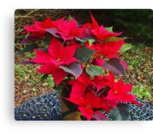 Poinsettias for Christmas Canvas Print