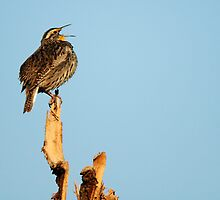 "Western Meadowlark - ""Sing a Song"" by Ryan Houston"