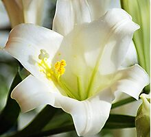 Easter Lilly Photographic Print