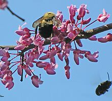 Bees on Redbud by mwfoster