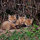 Fox Kits 8 by Michael Cummings