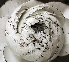 Ranunculus  by Sashy