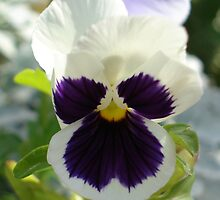 purple-centered pansy by aimfatale