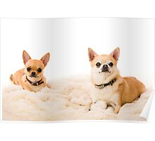 Two chihuahuas Poster