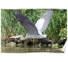 Heron in flight Poster