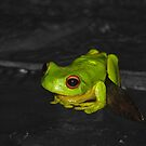 Red-eyed Tree Frog by Dave Fleming