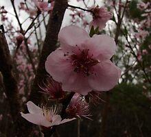 peach blossom pink by RDRAKEPERKINSON