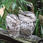 Tawny Frog Mouth  by aggieeck