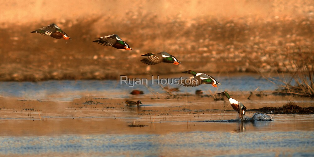 Northern Shoveler - Flying Sequence by Ryan Houston