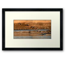 Northern Shoveler - Flying Sequence Framed Print