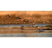 Northern Shoveler - Flying Sequence Photographic Print