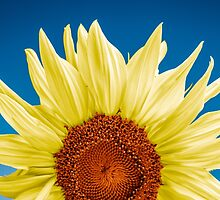 Sunflower close-up - blue background by JH-Image