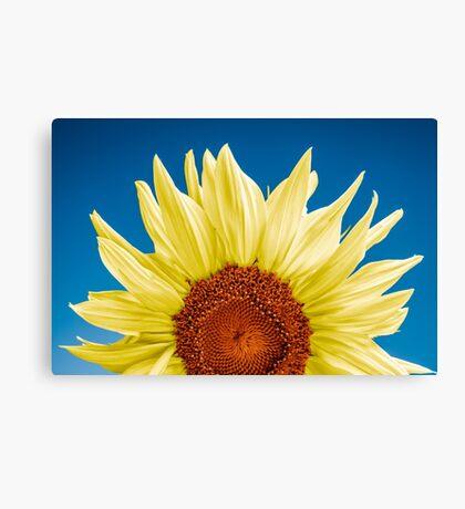 Sunflower close-up - blue background Canvas Print
