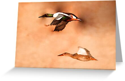 Northern Shoveler - Drake & Hen in Flight by Ryan Houston