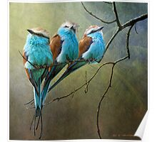 racquet tailed rollers- blue birds of africa Poster
