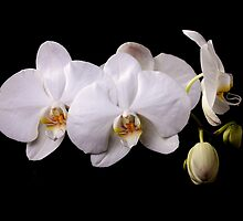 White orchid by torishaa