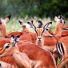 IMPALA (Mamal Antidorcas marsupialis) by Magriet Meintjes