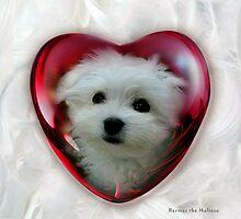 Hermes the Maltese - Little Sweet Heart ! by Morag Bates