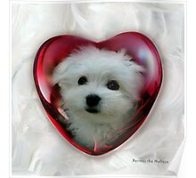 Hermes the Maltese - Little Sweet Heart ! Poster