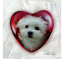 Hermes the Maltese - Little Sweet Heart ! Photographic Print