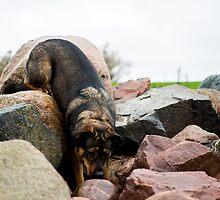 Dolly - German Shepherd / Rottweiler by Madilation