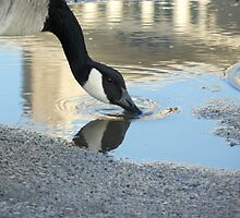 A thirsty goose by Melissa  Yates
