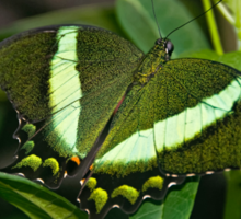 Emerald Swallowtail Sticker
