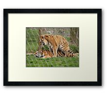 Mating Tigers Framed Print