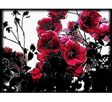 Lifecycle of the Rose Photographic Print