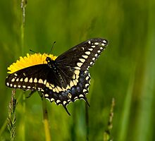 Eastern Black Swallowtail by Michael Cummings