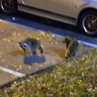 Second Night, TWO Raccoons by Navigator