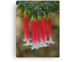Epacris longiflora .. fuchsia heath ... number 2 Canvas Print
