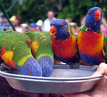 Feeding Rainbow Lorikeets by mjds