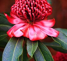Spectacular red waratah flowering in the garden flora by Leah-Anne Thompson
