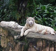 White Tiger by Scott Van Leeuwen