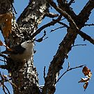White-breasted Nuthatch by MarcVDS