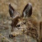 Mule Deer by MarcVDS