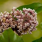 Milkweed Flower by Michael Cummings