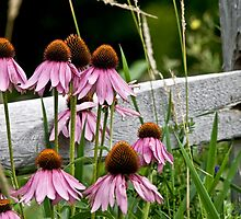 Echinacea - Purple Cone Flower by Michael Cummings