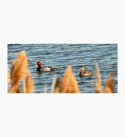 Redhead Drake & Hen Photographic Print