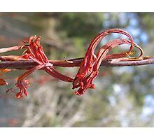 Native Australian Flower Photographic Print