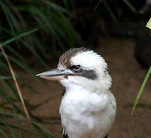 Laughing Kookaburra by Douglas Stetner