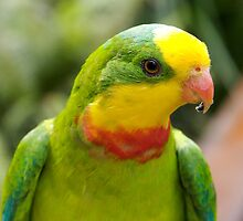 Superb Parrot by Douglas Stetner